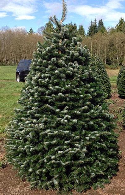 Nordmann Fir – Olympic Christmas Trees