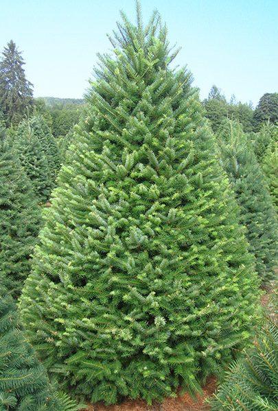 Douglas Fir Christmas Tree