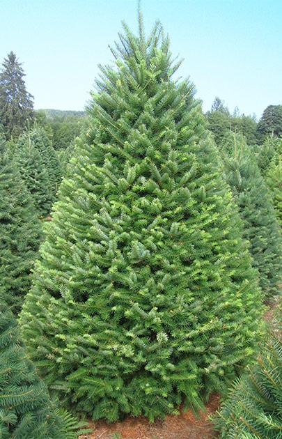 Douglas Fir – Olympic Christmas Trees